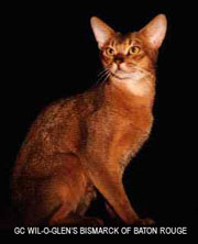 ACCA  Abyssinian Cat Club O Abyssinians